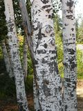 Carved Birch Tree Trunks Stock Photos