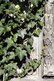 Carved wall covered with ivy Stock Photos