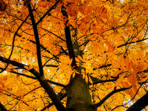 Carya Cordiformis Tree Leaves Changing Colour royalty free stock images