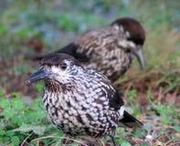 Caryocatactes de Nucifraga d'oiseau à la recherche de nourriture photo libre de droits