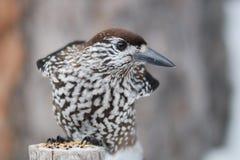 Caryocatactes del Nucifraga (familia del cuervo) Foto de archivo