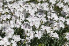 Caryophyllus гвоздики & x28; carnation& x29; , белые цветки зацветая в саде Стоковые Фотографии RF