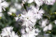Caryophyllus гвоздики & x28; carnation& x29; , белые цветки зацветая в саде Стоковая Фотография RF
