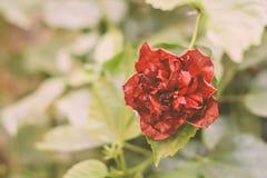 Caryophyllus d'oeillet, oeillet ou rose de clou de girofle, une plante vivace herbacée s'élevant au soleil Fond de cru Utilisé As photo stock