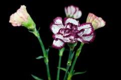 Caryophyllus do cravo-da-índia Imagens de Stock