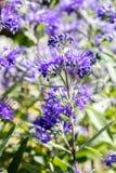 Caryopteris宏指令,天堂般的蓝色clandonensis在晴朗的庭院里开花 库存照片