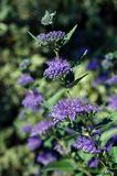 Caryopteris x clandonensis Dark Knight. Delicate clusters of mauve flowers with long mauve stamens line a single stem of Blue Mist Shrub on a sunny summer day Stock Image