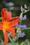 Orange Daylily and Blue Mist Spirea shrub. Caryopteris, late season perennial, woody stem, blue, purple flowers, fragrant good garden companion for perennial stock images