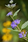 Blue Mist Spirea closeup goldenrod in background Stock Photography