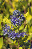 Caryopteris x clandonensis Worcester Gold Royalty Free Stock Photo
