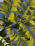 Caryota Mitis Fishtail Palm Leaves in Full Sun Royalty Free Stock Images