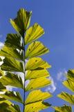 Caryota Mitis Fishtail Palm Leaves in Full Sun Royalty Free Stock Photo