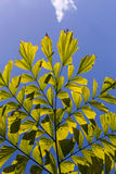 Caryota Mitis Fishtail Palm Leaves in Full Sun Stock Image