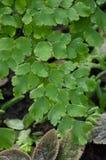 Caryota mitis leaves Stock Photos