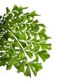 Caryota obtusa lässt riesige Fischschwanzpalme, schönes Palmblatt, das tropische Laub, das auf weißem Hintergrund lokalisiert wir stockfoto