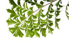 Caryota obtusa leaves Giant fishtail palm, Beautiful palm leaf, Tropical foliage isolated on white background. With clipping path Royalty Free Stock Photos