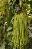 Caryota ochlandra Hance Royalty Free Stock Images
