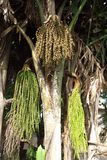 Caryota urens palm Royalty Free Stock Images