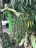 Caryota urens or Solitary fishtail palm. Royalty Free Stock Photography