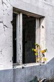 Casa abandonada con el árbol joven en ruines Fotografía de archivo libre de regalías