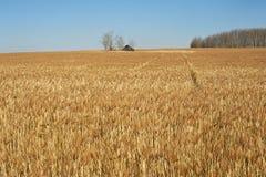 Casa abandonada y un campo del trigo maduro Imágenes de archivo libres de regalías