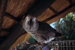 Casa africana in tensione reale del pappagallo accanto alla sua cellula nel giardino Fotografie Stock Libere da Diritti