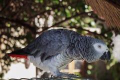 Casa africana in tensione reale del pappagallo accanto alla sua cellula nel giardino Immagini Stock Libere da Diritti