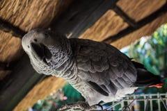 Casa africana in tensione reale del pappagallo accanto alla sua cellula nel giardino Fotografia Stock