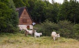 Casa alpina della montagna con le mucche Fotografia Stock