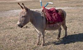 Casa animal Os custos do burro dos jovens em uma clareira Foto de Stock Royalty Free