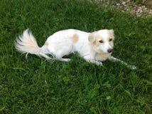 A casa branca o cão está encontrando-se no gramado perto da casa que olha o proprietário Foto de Stock