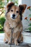Casa-cão pequeno no dever Fotos de Stock