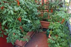 A casa com muitos planta e tomates maduros vermelhos Fotos de Stock Royalty Free