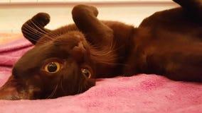 Casa comoda di menzogne sul colpo lento del sofà, rilassamento birmano di marrone del gatto archivi video