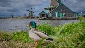 Casa da exploração agrícola da turbina eólica com pato imagem de stock