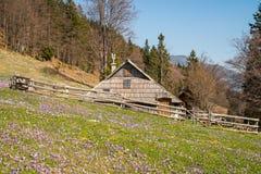 Casa de campo de madeira tradicional em Velika Planina durante o tempo de mola com açafrões Fotografia de Stock