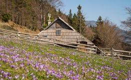 Casa de campo de madeira tradicional em Velika Planina durante o tempo de mola com açafrões Imagem de Stock