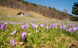 Casa de campo de madeira tradicional em Velika Planina durante o tempo de mola com açafrões Imagem de Stock Royalty Free
