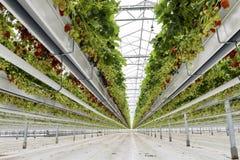 Casa de cristal de la fresa los Países Bajos imagen de archivo