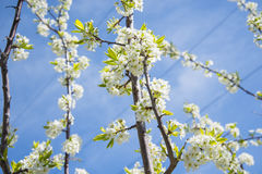 Casa de florescência de Crabapple A árvore de Apple floresce as flores brancas imagem de stock