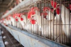 Casa de gallina del huevo Imagen de archivo