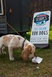 Casa de Harewood, Harewood, Yorkshire, Reino Unido, abril, 23, 2019: Um cachorrinho marrom e branco novo pequeno aprecia comer um foto de stock