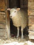 Casa de las ovejas imágenes de archivo libres de regalías