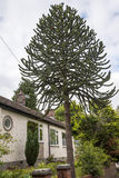 Casa de planta baja con el árbol del rompecabezas de mono en la ciudad pintoresca de Sandbach en Cheshire England del sur Fotos de archivo libres de regalías