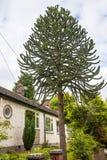 Casa de planta baja con el árbol del rompecabezas de mono en la ciudad pintoresca de Sandbach en Cheshire England del sur Foto de archivo libre de regalías