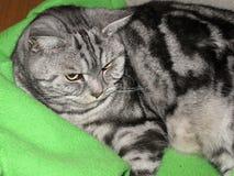 Casa del gatto di Shorthair dell'americano Fotografia Stock