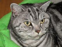 Casa del gatto di Shorthair dell'americano Fotografie Stock Libere da Diritti