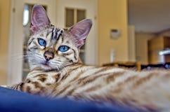 Casa dell'occhio azzurro del gatto di bellezza del Bengala Immagine Stock