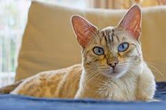 Casa dell'occhio azzurro del gatto di bellezza del Bengala Immagini Stock Libere da Diritti