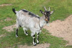 Casa della capra Sparando all'aperto, animali da allevamento Immagine Stock Libera da Diritti
